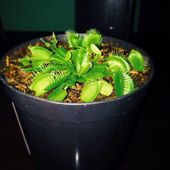 Presente mais lindo que eu ja ganhei obrigado meu amor @jeelane Uma mini Planta Carnivora Vscocam Pakkunflower Plantacarnivora Flower Instaphoto Instalike Like Follow Green