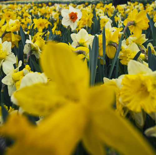 Beauty In Nature Blooming Close-up Daffodils Day Flower Flower Head Fragility Freshness Growth Nature No People Outdoors Petal Plant Yellow