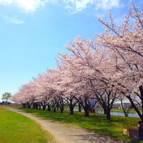Beautiful Japan Cherryblossom Nature Japanese Culture Pink Flowers サクラ 桜 Cherry Blossoms