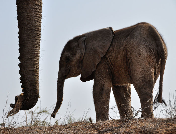 Side view of elephant on field against sky