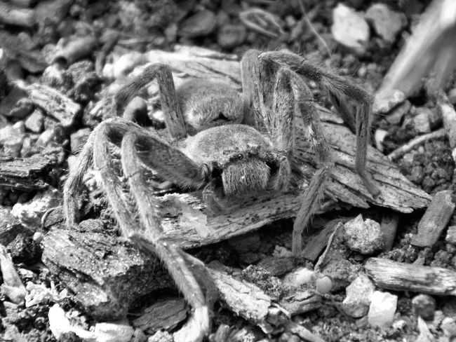 Animal Themes Animals In The Wild Arachnid Photography Close-up Day HuntsmanSpider Nature No People One Animal Outdoors Reptile Spider :)