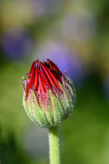 Growing Natural Blooming Blooming Flower Bokeh Close-up Day Flower Flower Head Flowers Freshness Garden Green Color Nature Opening Outdoors Petal Plant Red