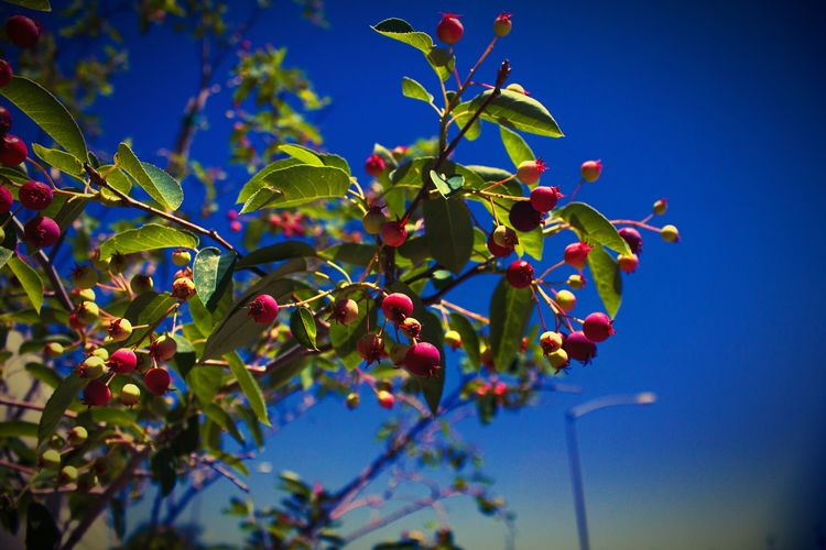 """""""Colors of summer"""" (2016) Summer Fruits Tree And Sky Tree Berry Denver, Co"""