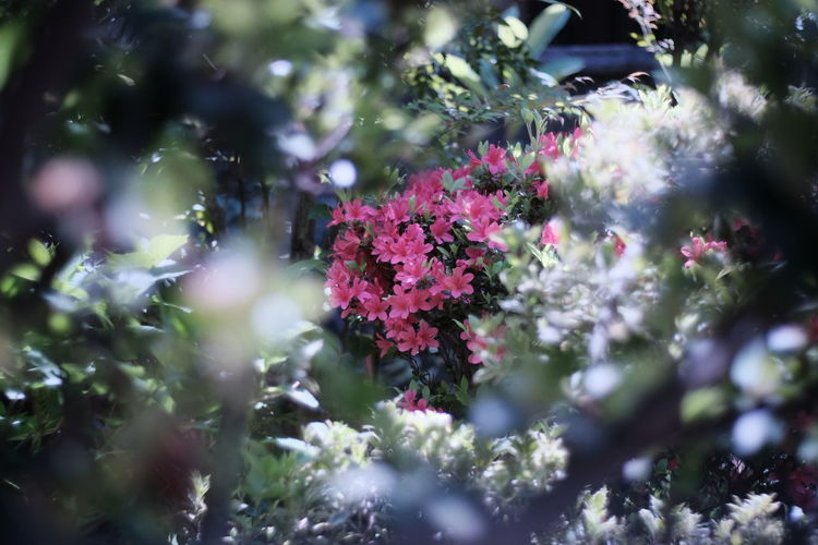 2017-4-28 Flower Summer Pink Color Nature Tree No People Fragility Day Outdoors Close-up Freshness