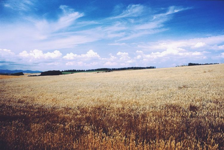 Faraway in the wind. Hello World Taking Photos Traveling Travel Photography Wheat Field Summer Film Biei