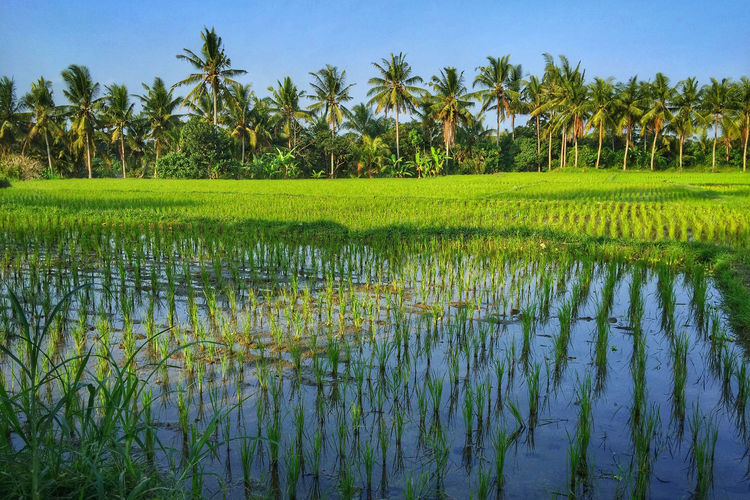 View of rice paddy field
