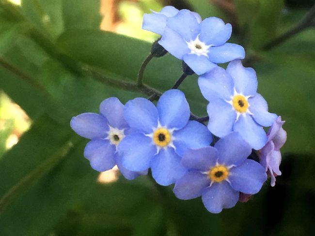 Flower Beauty In Nature Growth Outdoors Vergissmeinnicht Blue Landscape EyeEm Masterclass EyeEm Nature Lover Eye4photography  Beauty In Nature EyeEm Best Edits