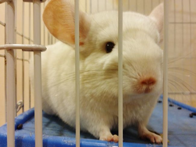 Chinchilla Pet Lover Cute Animal My Beloved Pet White Chinchilla By Lg G3 Animal Photography Animalface