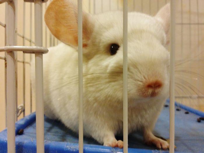 Chinchilla Pet Lover Cute Animal My Beloved Pet White Chinchilla By Lg G3 Animal Photography Animalface