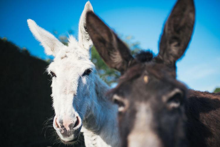 Portrait of donkeys