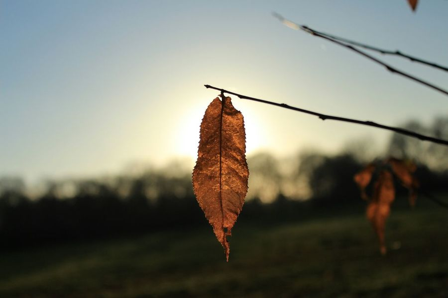 Nature Leaf 🍂 Leafs Leafporn Autumn Leafs Leafmania Sunset Sunset_collection Sunset Silhouettes