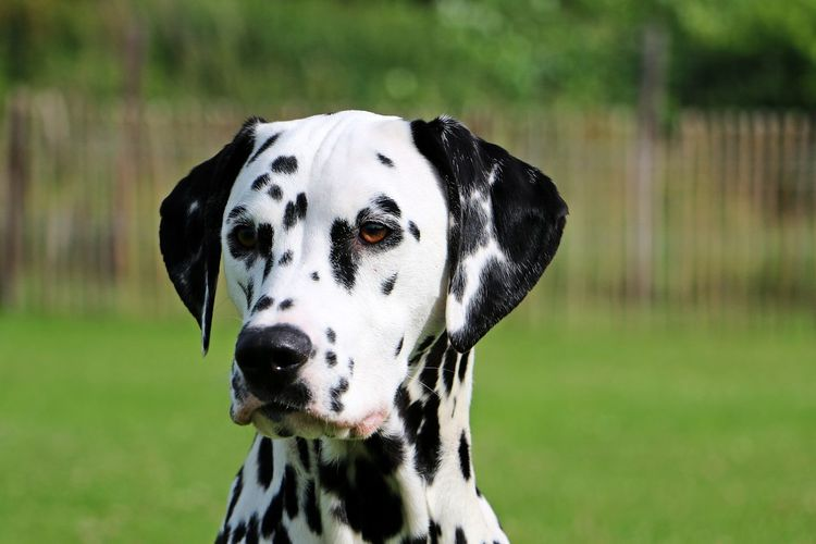 dalmatian dog portrait in the park Dotted EyeEm Pets Animal Themes Close-up Dalmatian Dog Dalmatiner  Day Dog Domestic Animals Field Focus On Foreground Garden Gepunktet Grass Kopf Mammal Nature No People One Animal Outdoors Pets Portrait Spotted