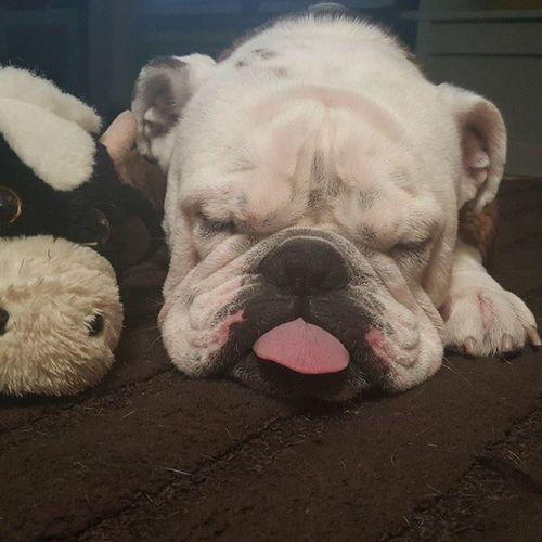 Tgif Chokeoutcancer Chokeouttv EnglishBulldog Bulldog Sleep Dogsofinstagram Tounge Fff Loveit Fogcitybulldogs Fogcitybulldog