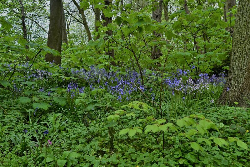 Bluebell Woods: Bluebells and gorgeous green foliage at Hackensall Woods, Knott End on Sea, Poulton le Fylde, Lancashire UK Beauty In Nature Blue Color Bluebells Day Flowers Forest Green Color Growth Nature No People Outdoors Plant Tree
