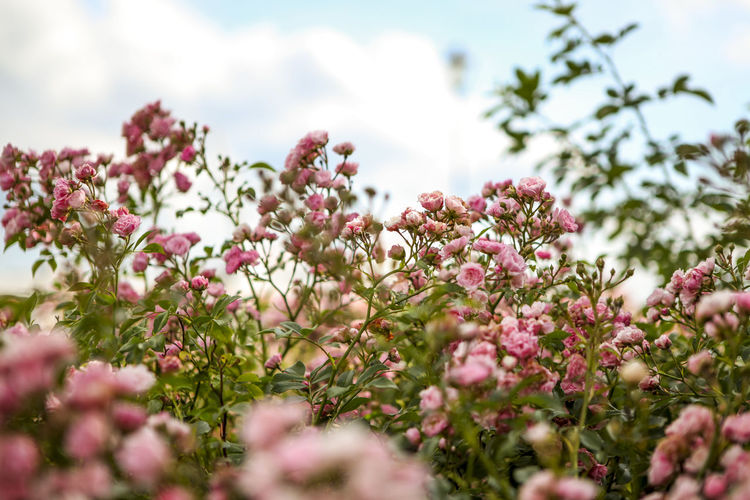 Close-Up Of Pink Flowers Against The Sky