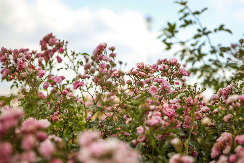 Abundance Beauty In Nature Blooming Blossom Botany Close-up Day Flower Focus On Foreground Fragility Freshness Growth In Bloom Nature No People Outdoors Petal Pink Pink Color Plant Selective Focus Sky Tranquility Tree