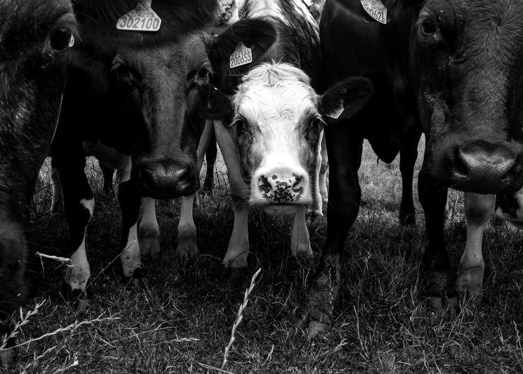 Animal Themes Animals Cattle Diversity Blackandwhite Black & White Beauty In Nature Farming Mobilephotography The Week On EyeEm