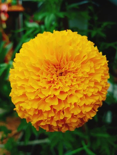 Still on my mind : Marigold flower Flower Yellow Nature Petal Fragility Flower Head Freshness Beauty In Nature Close-up Marigold Plant