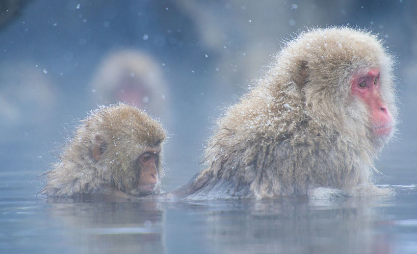Snow monkey in a hot spring, Nagano, Japan. Animal Themes Animal Wildlife Animals In The Wild Cold Temperature Day Hot Spring Japanese Macaque Mammal Monkey Nature No People Outdoors Snow Togetherness Water Winter
