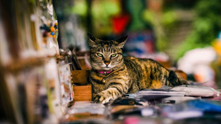 BOSS Cat Feline