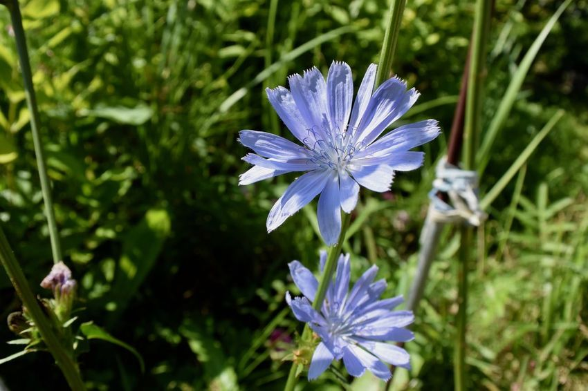Beauty In Nature Blossom Blue Flowers Botany Cichorium Close-up Flower Flower Head Flowering Plant Focus On Foreground Fragility Freshness Growth Inflorescence Nature No People Outdoors Petal Plant Plant Stem Pollen Purple Softness Spring Vulnerability