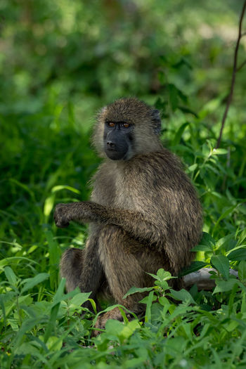 Nature Tanzania Travel Africa Animal Animal Wildlife Animals In The Wild Baboon Day Forest Full Length Green Color Land Mammal Monkey Nature No People Olive Baboon One Animal Outdoors Plant Primate Safari Sitting Vertebrate Wildlife