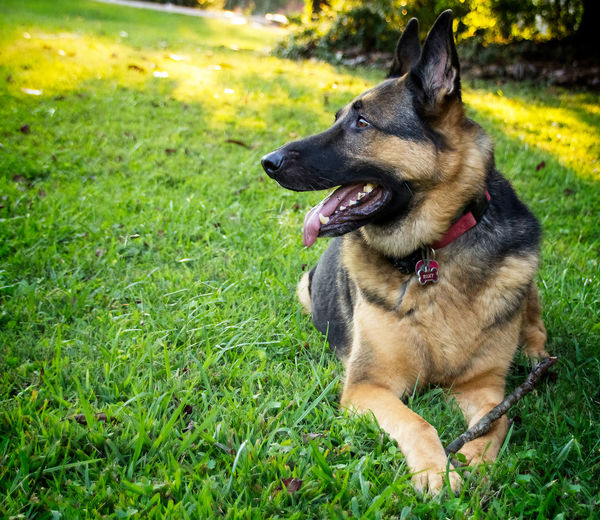 German Shepherd Laying in Grass Animal Themes Day Dog Domestic Animals German Shepherd Grass No People One Animal Outdoors Pets
