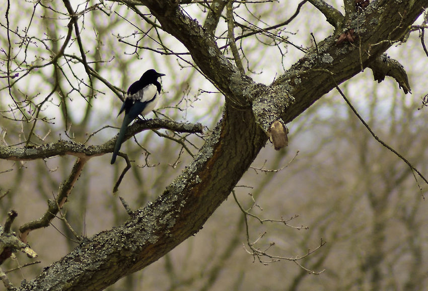 Bourley Heath. Beauty In Nature Bird In The Wild Magpie Pica Pica