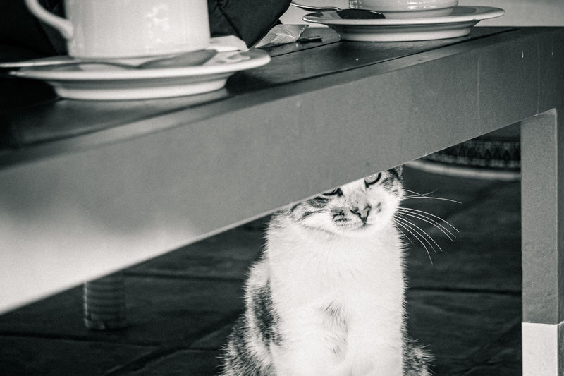Tabby cat sitting under a coffee table