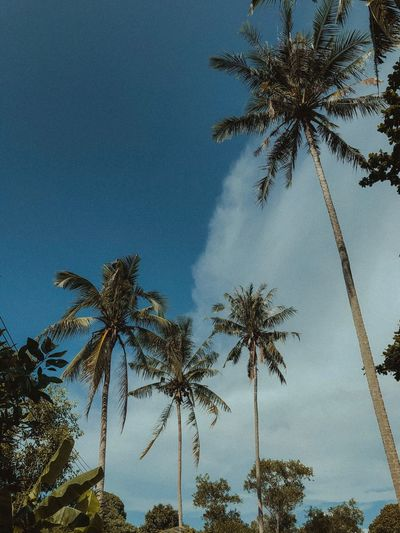 Exotic Palm Coconut Trees Tree Plant Sky Low Angle View Palm Tree Tropical Climate Growth Nature No People Beauty In Nature Cloud - Sky Tall - High Coconut Palm Tree Tranquility Outdoors Tree Trunk Trunk Blue Scenics - Nature Day