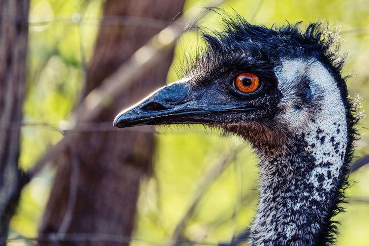 Emu Australien
