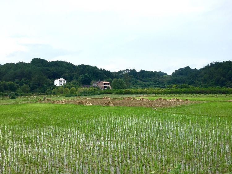 Agriculture Field Rural Scene Landscape Grass Nature Farm Tranquil Scene Growth Tranquility Beauty In Nature Scenics Day No People Green Color Outdoors Tree Rice Paddy Cow Domestic Animals