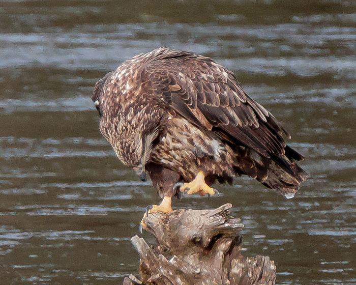 Animals In The Wild Bald Eagle Bird Bird In Wild Eagle Fly Ice Juvinile One Animal Water Wild Wild Bird Wildlife