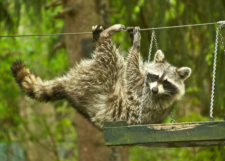Raccoon Hanging On Cable In Zoo