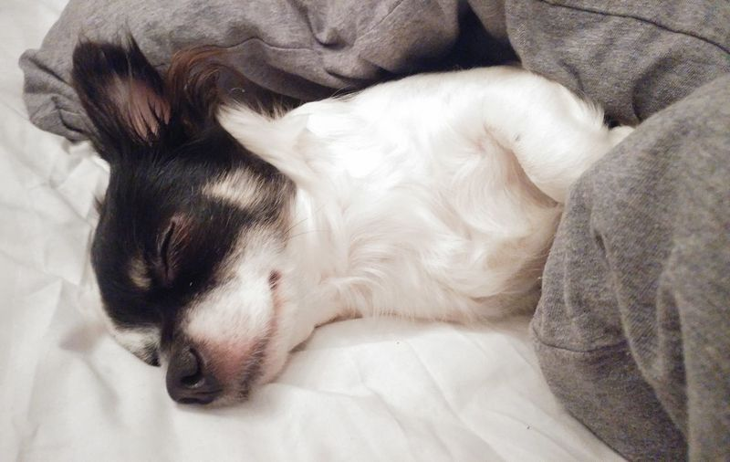 EyeEm Selects Dog Pets Domestic Animals One Animal Indoors  Mammal Animal Themes Bed Lying Down No People Close-up Day Chiuhuahua Puppy Sleep Sleeping Animal Sleeping Dog Sleeping