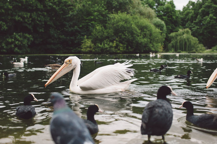 Animal Themes Animal Wildlife Animals In The Wild Beauty In Nature Bird Day Lake Nature No People Outdoors Pelican Swan Swimming Tree Water Water Bird