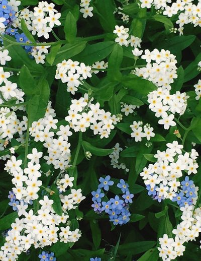 Forget Me Nots My Favorite Flower🌷 Forget Me Nots Tiny Flowers White And Purple Flower Precious Flowers Taking Photos Plants And Flowers Gardening My Garden 😊 Enjoying Life My Garden @my Home Loving Life!