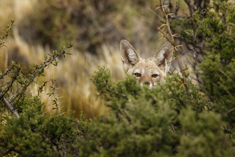 Gray fox hiding behind scrub in the Argentinian Patagonian steppe looking curious at the camera Animal One Animal Animal Themes Animal Wildlife Animals In The Wild Plant Mammal Portrait Selective Focus Looking At Camera Vertebrate No People Day Animal Head  Wildlife Couriousity Fox Argentina Patagonia Hide Hidden