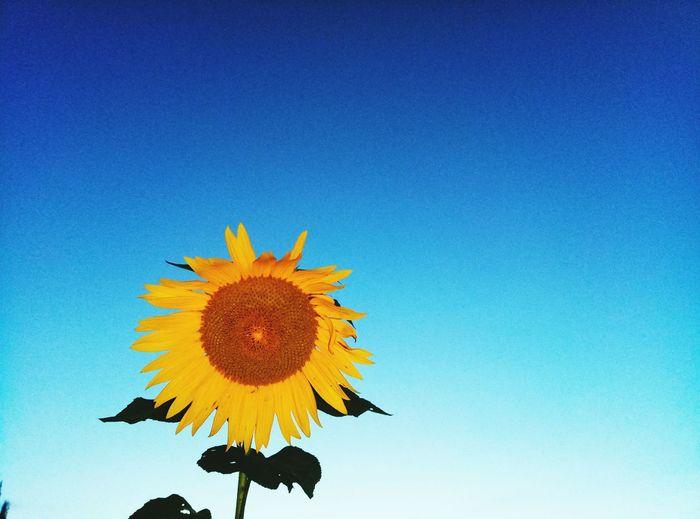向日葵 Flower Head First Eyeem Photo