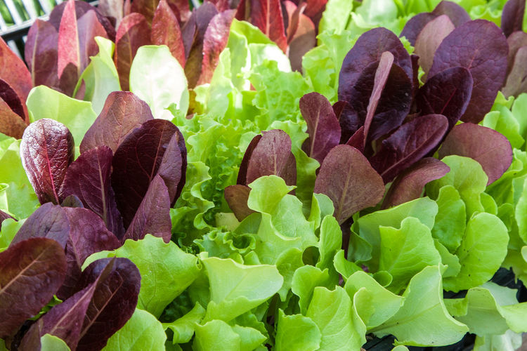 Beauty In Nature Close-up Day Detail Focus On Foreground Fragility Freshness Full Frame Green Green Color Growing Growth Leaf Leaf Vein Leaves Lettuce Natural Pattern Nature No People Outdoors Plant Plant Starts Red Lettuce Seedlings Selective Focus