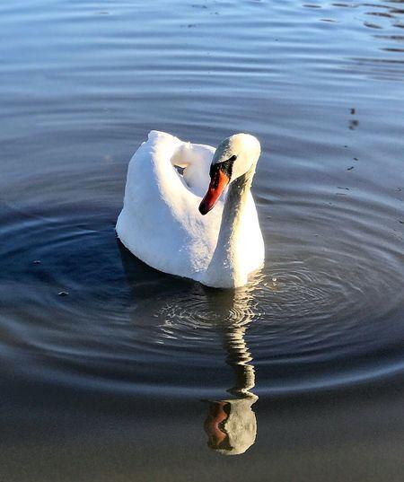 Monday Warsaw Swan Water Lake Swan Nature Bird First Eyeem Photo