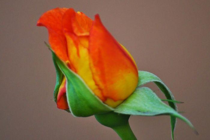 Red Color Catalunya Catalonia Sant Esteve D'en Bas Girona Garrotxa, Catalonia, Spain Flower Rose🌹 Close-up Beauty In Nature Orange Color Outdoors Plant Flower Head Leaf Nature