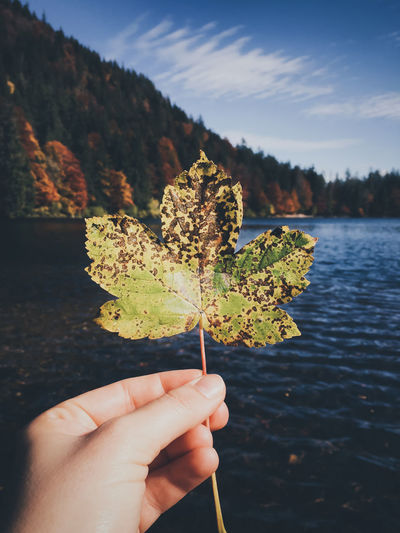 Cropped hand of women holding rotten maple leaf against lake during autumn