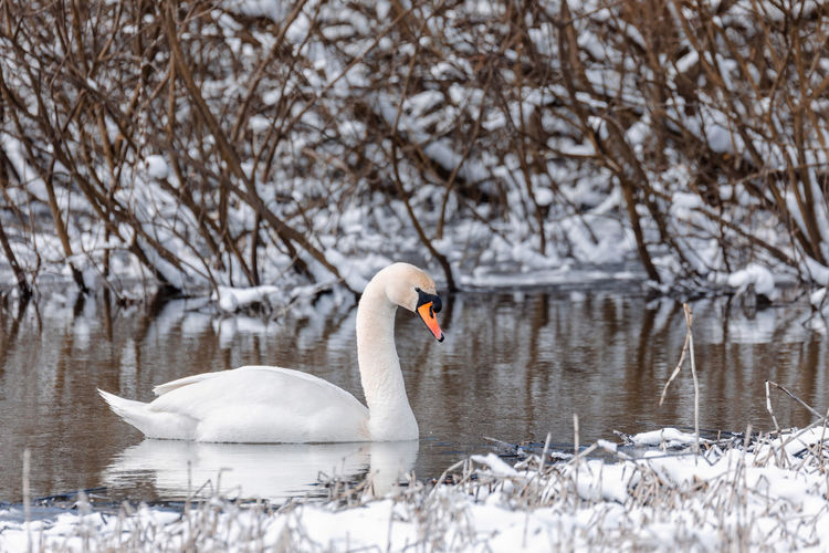 Swan swimming in lake during winter