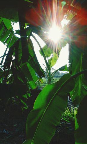 Cây Chuối Mặt Trời Sun Green Green Green!  Green Bắc Giang Tân Yên Tree Enjoying Life Check This Out ánh sáng chói loá 😊🌞☀🔅🔆😉✌