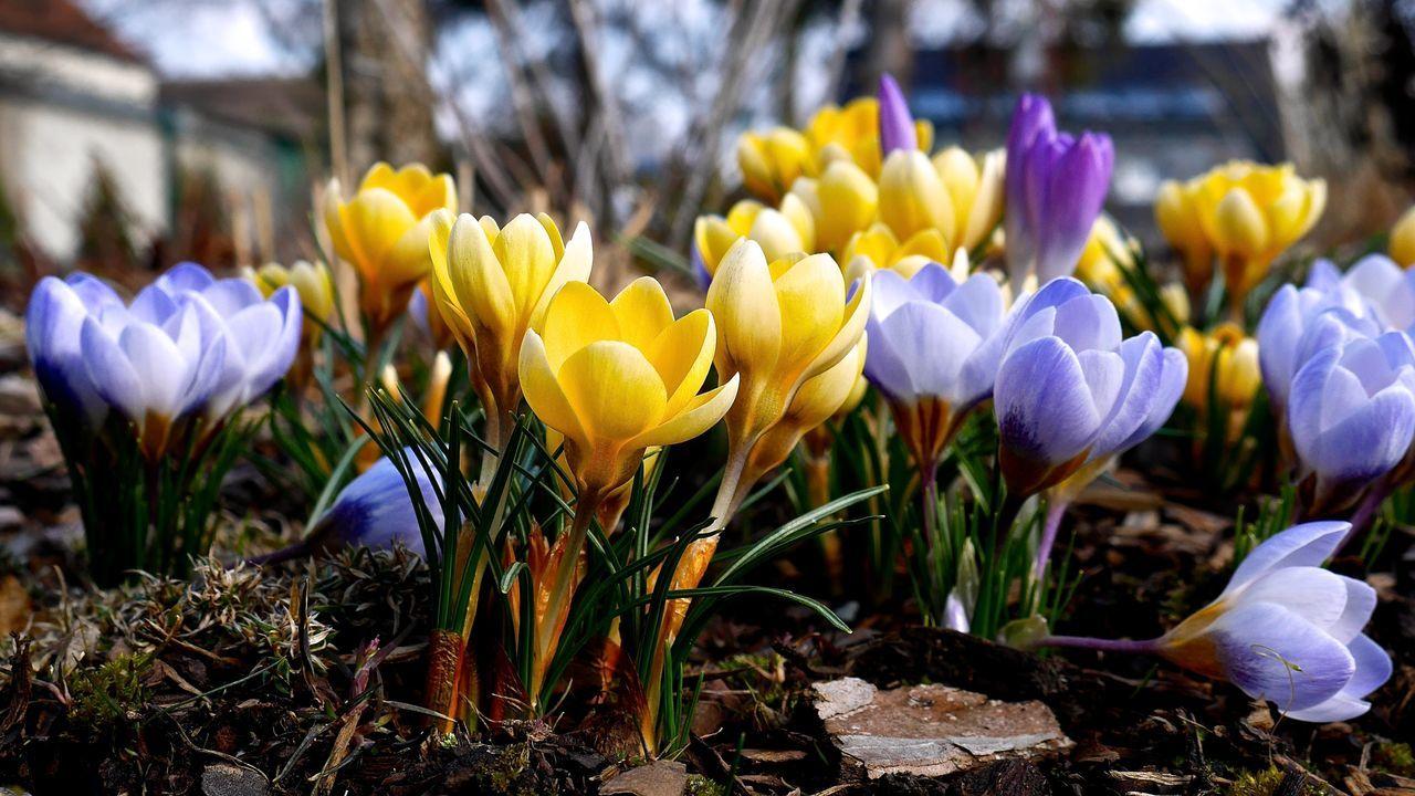 Close-up of crocus flowers