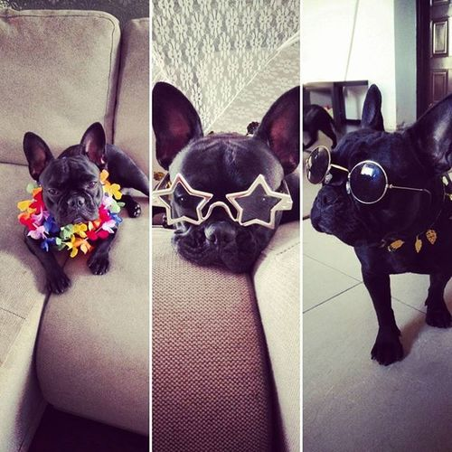 It's my party :) Dog Blackissuchahappycolor Fab_frenchies Frenchie Frenchbulldog Instalove Love Like4like Froggy