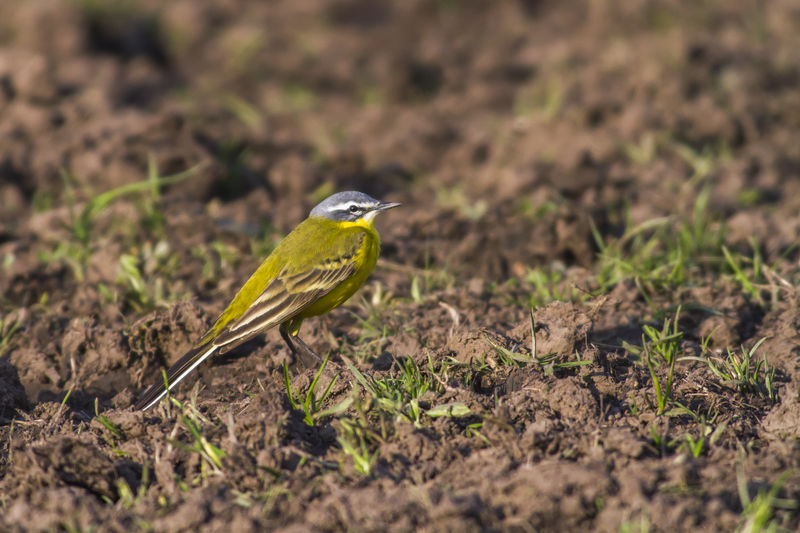 A western yellow wagtail on a meadow Animals In The Wild Motacilla Flava Nature Songbird Singing Western Yellow Wagtail Animal Themes Animals In The Wild Birds In Flight Close-up Day Landscape Meadow Nature No People One Animal Outdoors Singing Birdsingingflyingnature Wagtails
