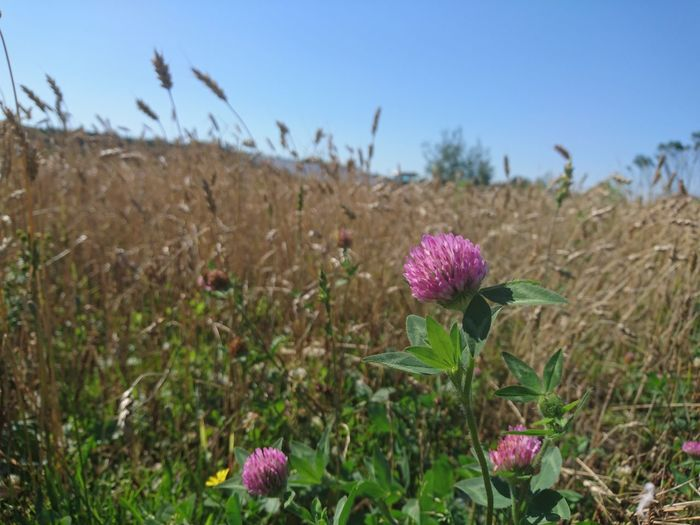 L'automne...que je t'aime... Flower Field Focus On Foreground Close-up My Point Of View Flower Growth Beauty In Nature Plant Nature Wheatfield