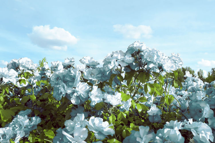 Beauty In Nature Blooming Blue Blue Flowers Blue Sky Day Flower Fragility Freshness Growth Nature No People Outdoors Plant Sky Tree
